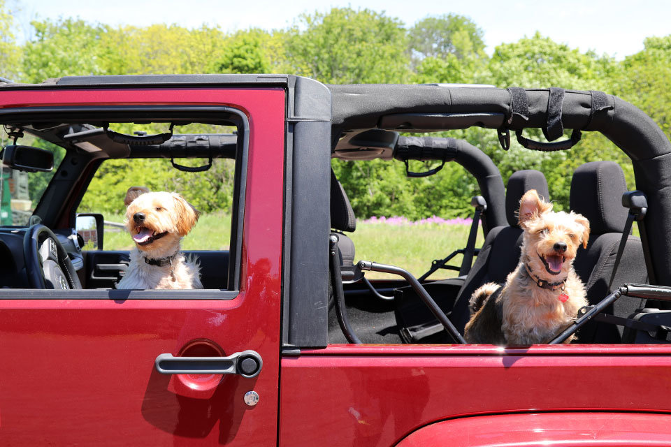Happy Dogs in the Jeep