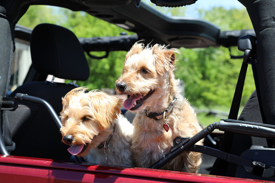 Dogs ride in the Jeep